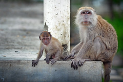 new world monkey(0.0), animal(1.0), monkey(1.0), mammal(1.0), fauna(1.0), japanese macaque(1.0), old world monkey(1.0), wildlife(1.0),