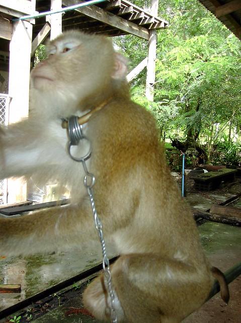 První opičí škola Surat Thani
