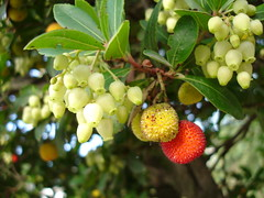Arbutus unedo fruits&flowers 07