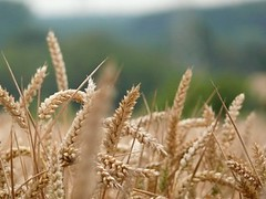 emmer, prairie, agriculture, einkorn wheat, food grain, field, wheat, plant, close-up, crop, cereal, plant stem,