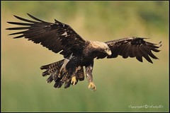 Imperial Eagle - ( adult )