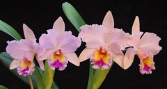 Blc. George King 'Serendipity'