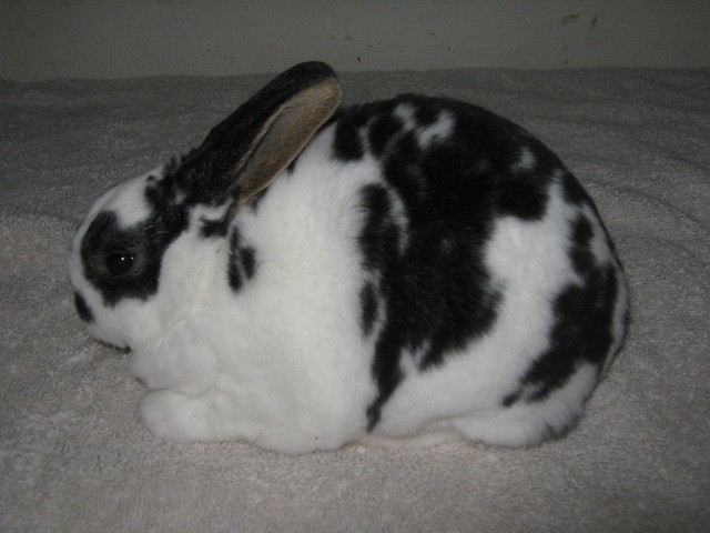 Recent Photos The Commons Getty Collection Galleries World Map App    Black Mini Rex Rabbits