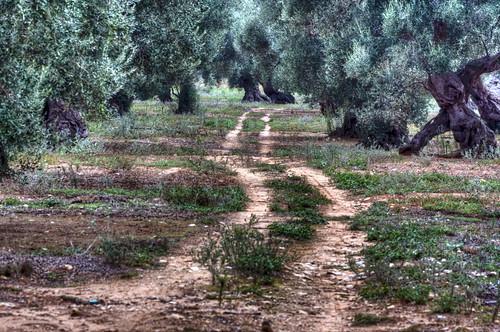 Uliveto salentino - Italian countryside, HDR