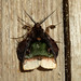 Small photo of Ceroctena amynta. Noctuidae