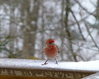 Adorable little red finch