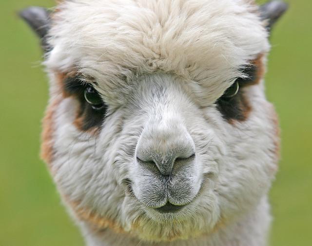 Happy Alpaca   Flickr - Photo Sharing!