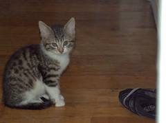 bengal(0.0), egyptian mau(0.0), manx(0.0), animal(1.0), kitten(1.0), tabby cat(1.0), small to medium-sized cats(1.0), pet(1.0), mammal(1.0), european shorthair(1.0), pixie-bob(1.0), american shorthair(1.0), cat(1.0), whiskers(1.0), domestic short-haired cat(1.0),