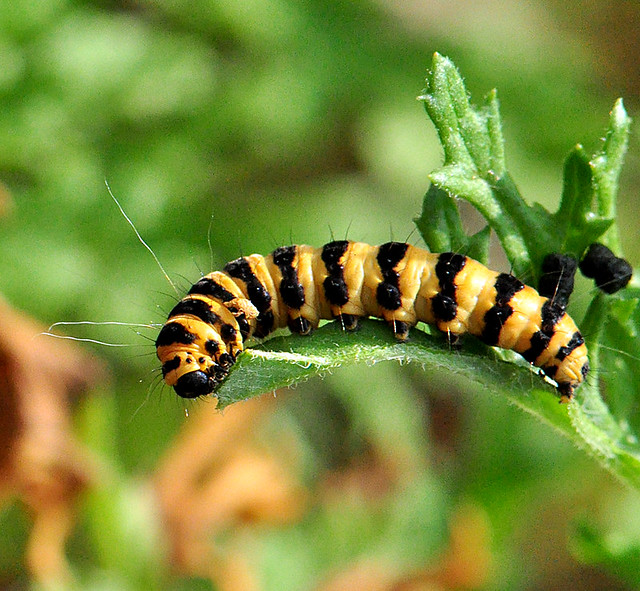 Painted Lady caterpillar | Flickr - Photo Sharing!