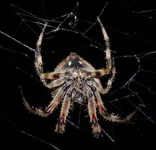 macro closeup barn spider nikon web neoscona d80 hentzi sb900