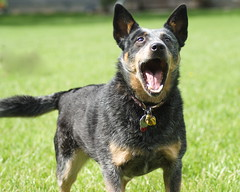 lapponian herder(0.0), huntaway(0.0), lancashire heeler(0.0), dog breed(1.0), german shepherd dog(1.0), animal(1.0), australian kelpie(1.0), dog(1.0), australian stumpy tail cattle dog(1.0), pet(1.0), old german shepherd dog(1.0), vulnerable native breeds(1.0), bohemian shepherd(1.0), australian cattle dog(1.0), east-european shepherd(1.0), carnivoran(1.0),