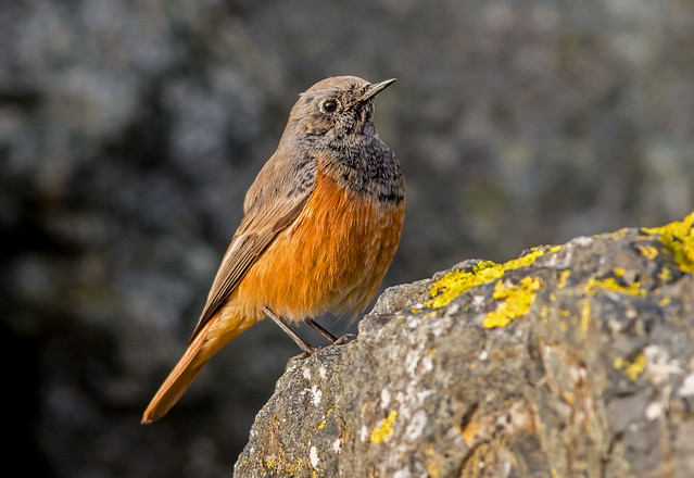 DSC4028  Eastern Black Redstart..