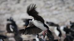 King Cormorant, Cormorán Real, (Phalacrocorax albiventer)