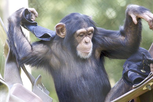 Chimpanzee at Monkey World Ape Rescue Centre