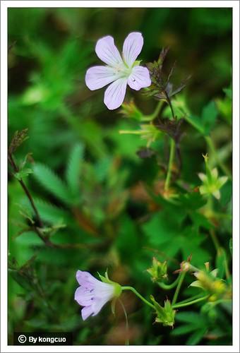内蒙古植物照片-牻牛儿苗科老鹤草属粗根老鹤草
