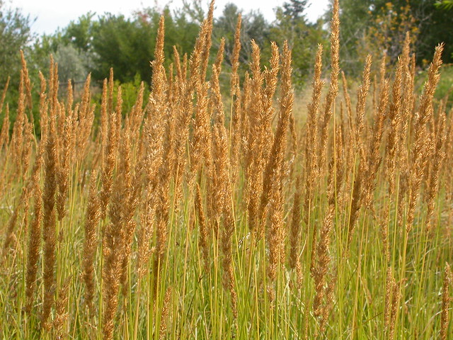 Calamagrostis stricta flickr photo sharing for Ornamental grass that looks like wheat