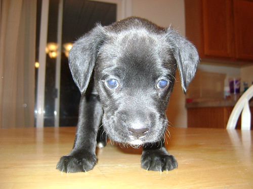 Chocolate lab/boxer mix puppies   Boise Riders - The ...