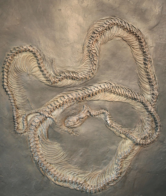 Fossil Eocene snake 48 million years old