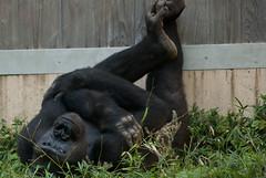 Don't disturb me - Gorilla