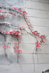Virginia Creeper at Heide 2 gallery, Heide Museum of Modern Art