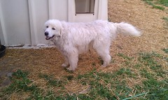 dog breed, animal, polish tatra sheepdog, dog, pet, maremma sheepdog, mammal, slovak cuvac, golden retriever, great pyrenees,