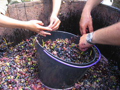 Preparing the grapes to make wine