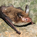 Vesper Bats - Photo (c) Ján Svetlík, some rights reserved (CC BY-NC-ND)