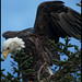 Bald Eagle - Anchor Point, Alaska