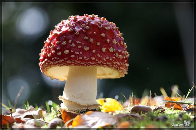 Fungi, Fly Agaric (Amanita muscaria)