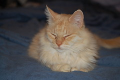 domestic long-haired cat, nose, animal, maine coon, kitten, british semi-longhair, small to medium-sized cats, pet, cat, carnivoran, whiskers, norwegian forest cat,