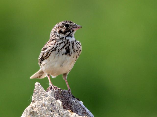 Vesper Sparrow 2-20110614