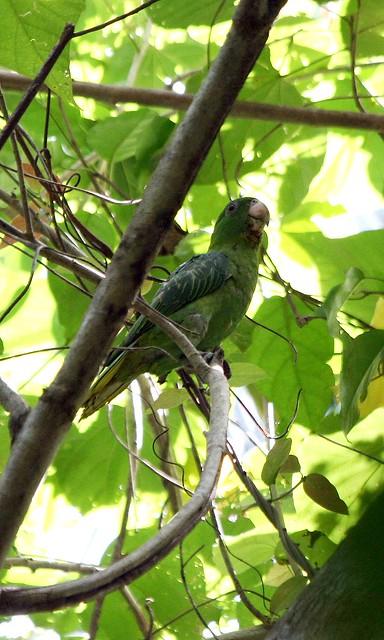 Blue-backed Parrot (Tamygnathus sumatranus)