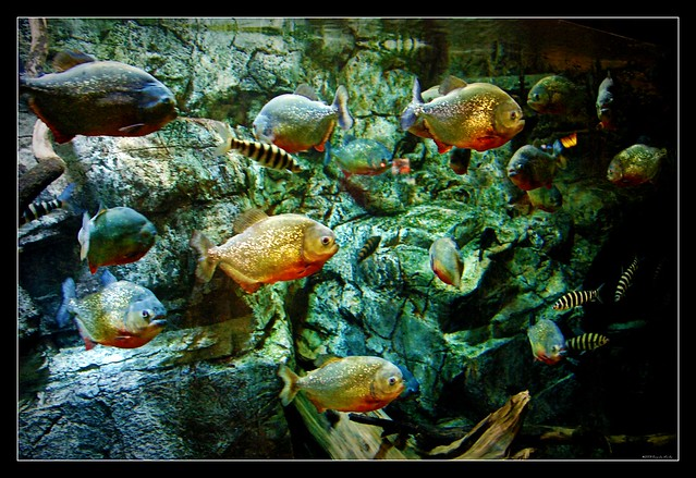 piranha tank flickr photo sharing