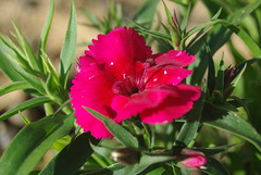 carnation(0.0), peruvian lily(0.0), peony(0.0), shrub(1.0), flower(1.0), plant(1.0), flora(1.0), dianthus(1.0),