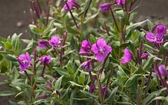 shrub, flower, plant, breckland thyme, herb, wildflower, flora,