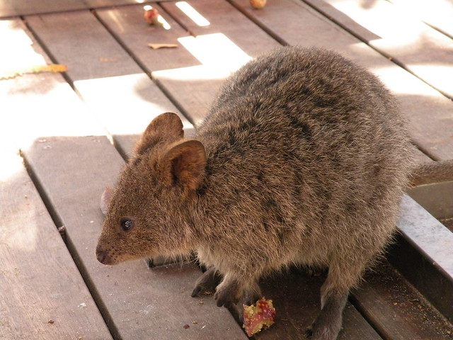 Quokka Eating Gif The gallery for -->...