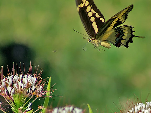 justin nature butterfly insect texas wildlife lepidoptera giantswallowtail swallowtailbutterflies