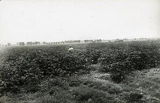 [ARIZONA-J-0006] Salt River Valley Cotton Field