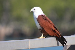 Brahminy Kite - Photo (c) Marj Kibby, some rights reserved (CC BY-NC)