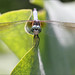 Dragonfly on Lotus Leaf - IMG_7123