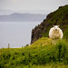 Scotland - Sheep (Isle of Skye)