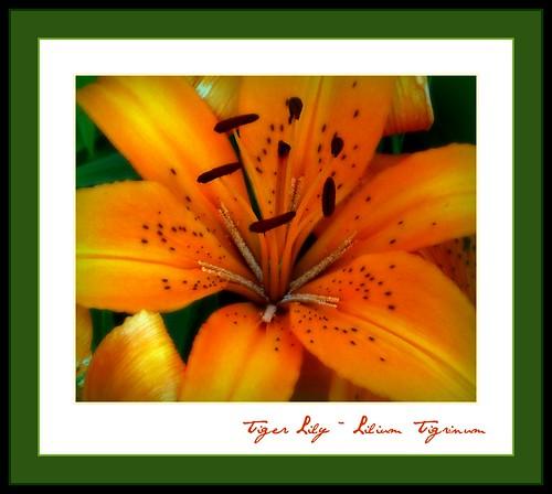 Tiger Lily ~ Lilium Tirginum