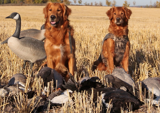 Goose Hunting Vanderhoof, British Columbia Golden ...
