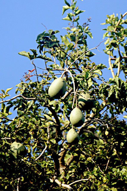 Bael fruit / Beli Fruit  (Aegle marmelos)