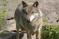 animal, canis lupus tundrarum, west siberian laika, czechoslovakian wolfdog, gray wolf, red wolf, mammal, east siberian laika, fauna, greenland dog, wolfdog, saarloos wolfdog, coyote, wildlife,