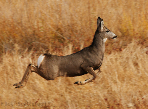 Mule Deer Running - http://www.flickr.com/photos/scattered/4118787484/