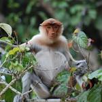 Proboscis monkey, Kinabatangan, Borneo, Malaysia