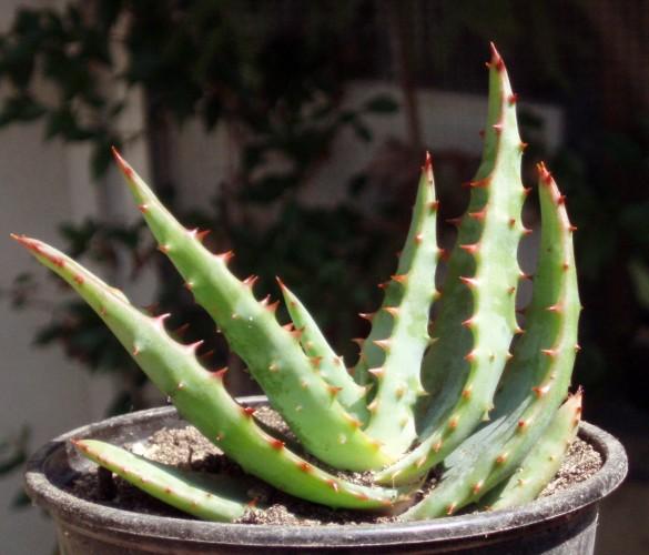 Aloe ferox 4225140548_0896ce959f_o