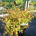 Small photo of Abelia x grandiflora 'Kaleidoscope'
