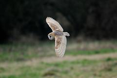 HolderBarn Owl. (F).